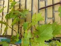 Brune pletter på vin