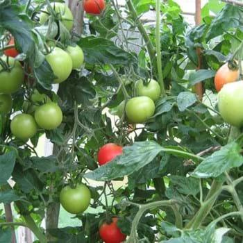 Grønne tomater til vinterbrug