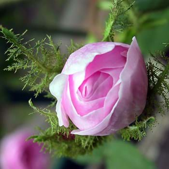 Roser i drivhuset